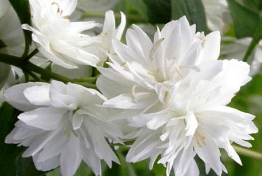 Махровые цветки чубушника - жасмина