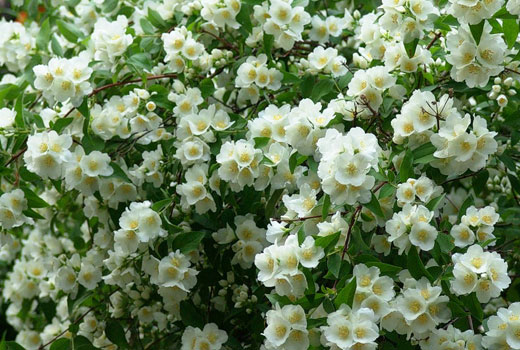 Разгар цветения жасмина садового