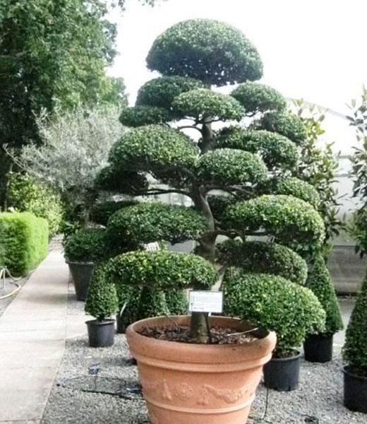 Дерево бонсаи в саду