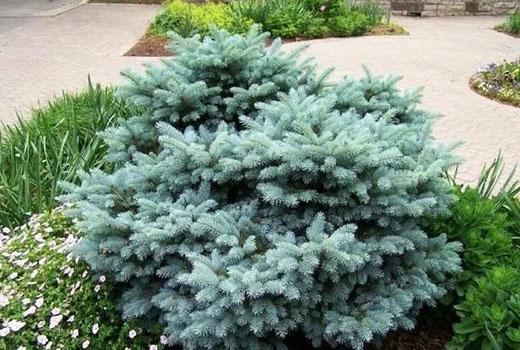 Голубая елочка