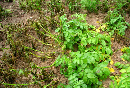 Кусты картофеля заражены фитофторозом
