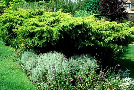 Низкорослые растения под прикрытием можжевельника.