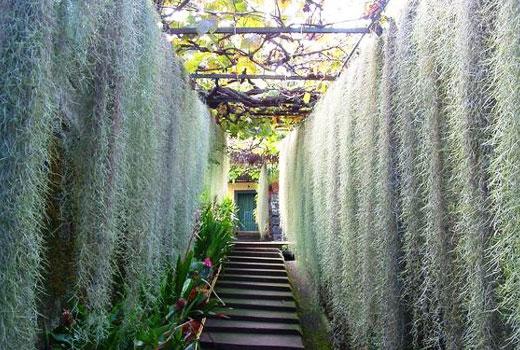 Зеленые занавеси из растений тилландсии
