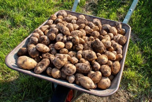 Уборка картофеля урожай