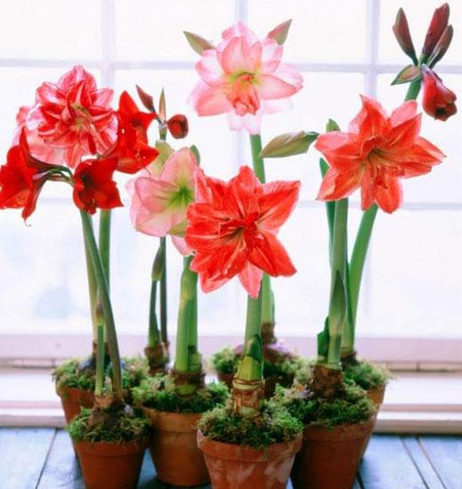 Цветущие амариллисы в горшках