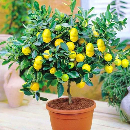 Деревце лимона комнатное
