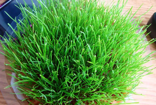 Трава для комнатного газона