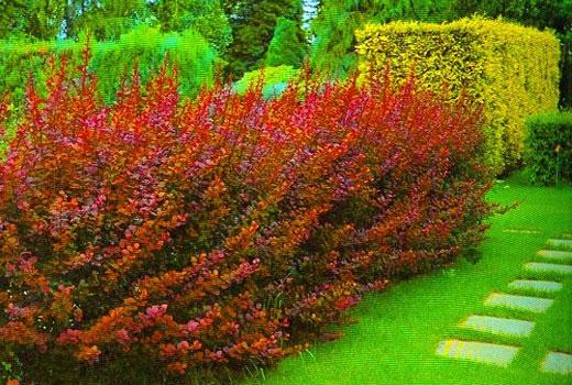 Красные листья барбариса