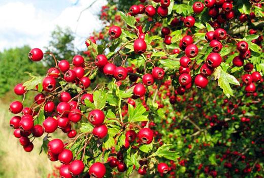 Плоды боярышника на кустах