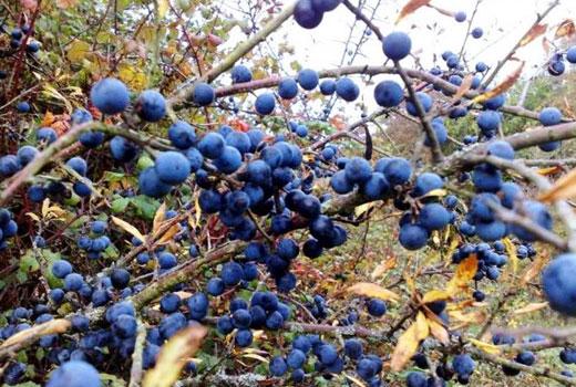 Плод терна на кустах