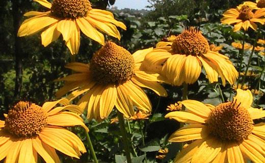 гелиопсис цветы