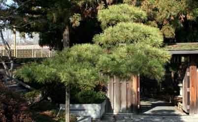 деревья бонсаи