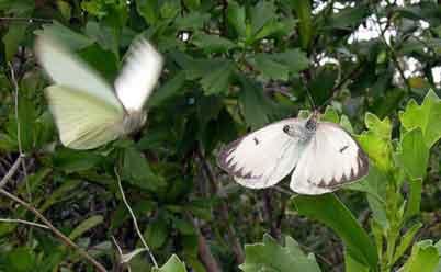 бабочки вредители огорода