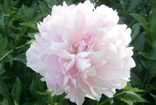 пион цветок крупный