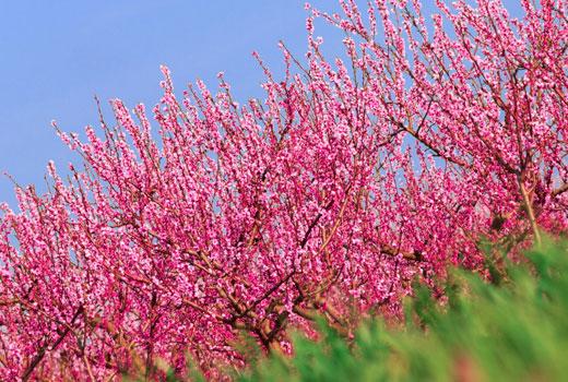 персики деревья