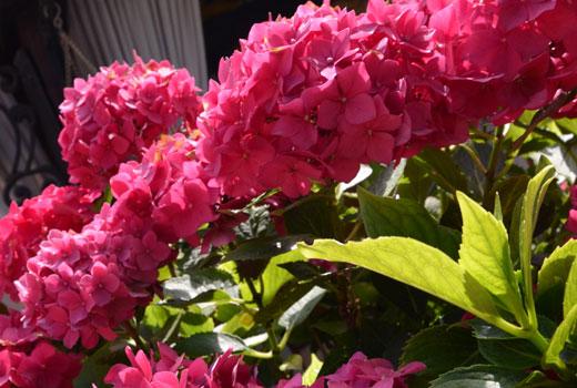куст гортензии цветы