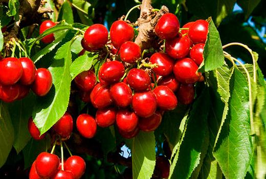 черешня ягоды