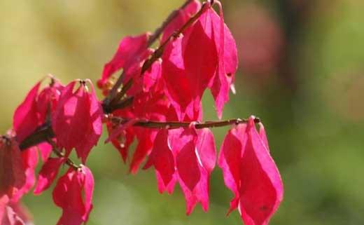 красные листья дерева