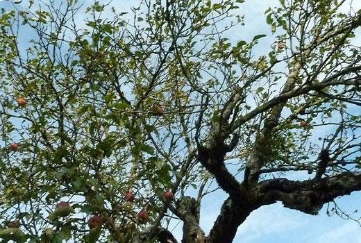 возраст дерева