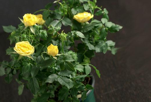 горшечные розы