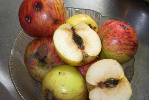 яблоневая плодожорка