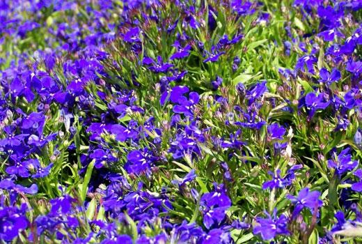 лобелия цветы