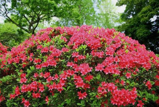 Куст азалиия садовая