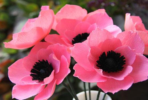 розовые анемоны