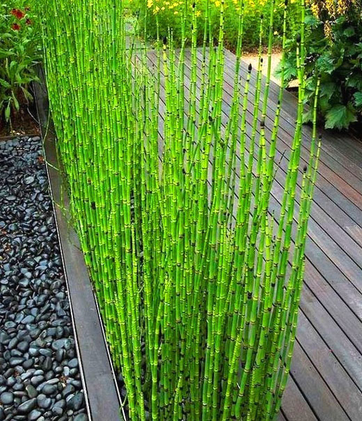 Хвощ Бамбук