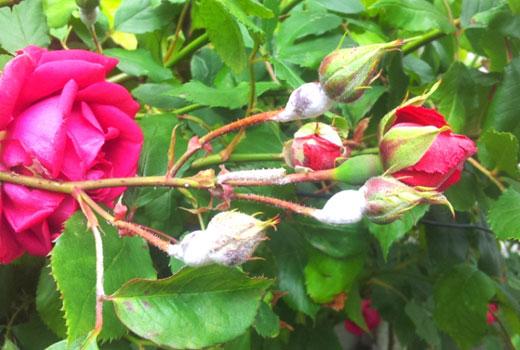 мучнистая роза на побегах розы