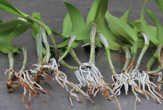 Корневая гниль еще не сильно повредила корни  молодых орхидей.