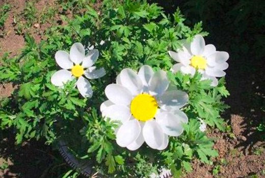 цветы клубники из пластиковых ложек