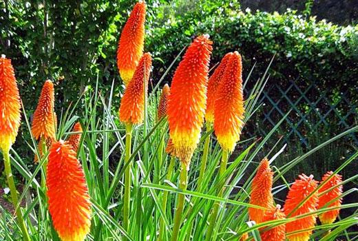 книфофия цветение