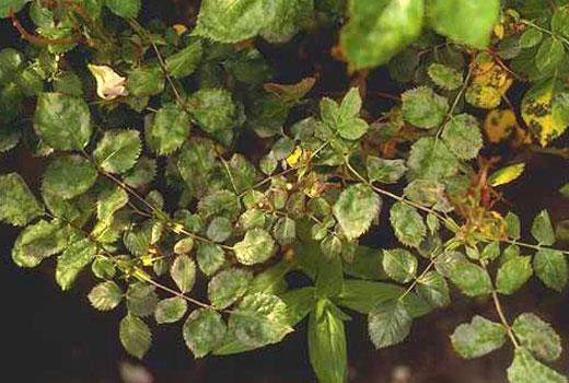 Листья роз, пораженные мучнистой росой
