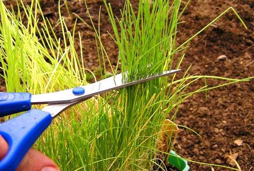 подстричь рассаду лука