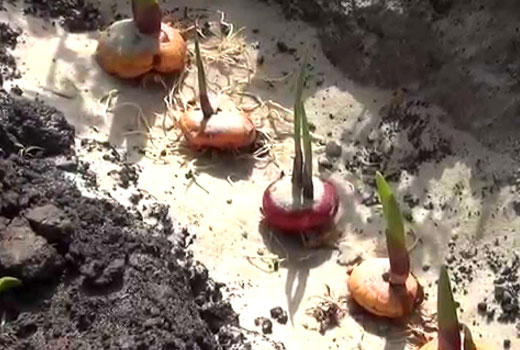 лунка для гладиолусов