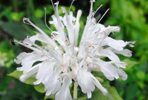 белый цветок монарды