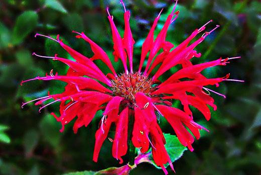 цветок монарды