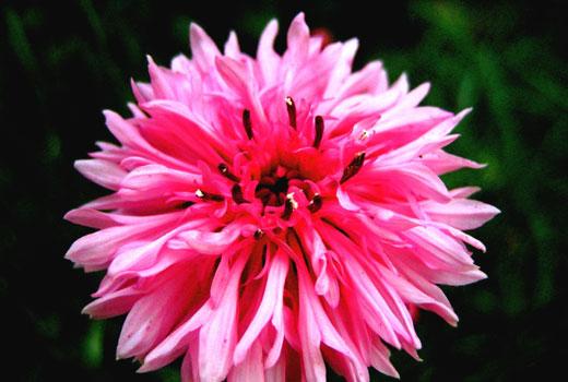 монарда розовая
