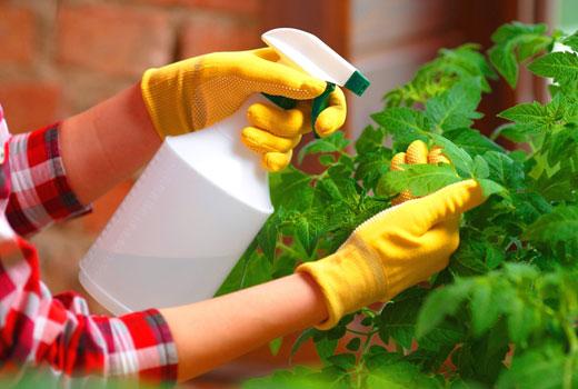 опрыскивание рассады томатов