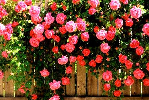куст розы в саду