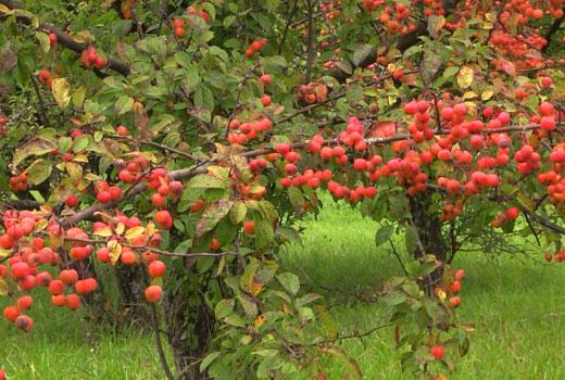 японская яблоня в саду
