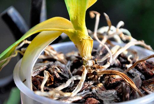 Гибель орхидеи от гнили шейки