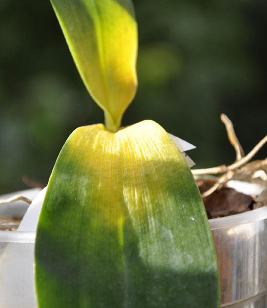 Гниль шейки орхидеи