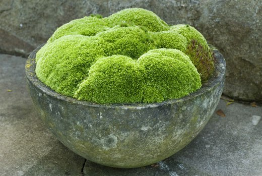 вазон мох