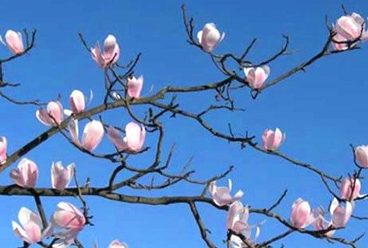 цветы магнолии поделки